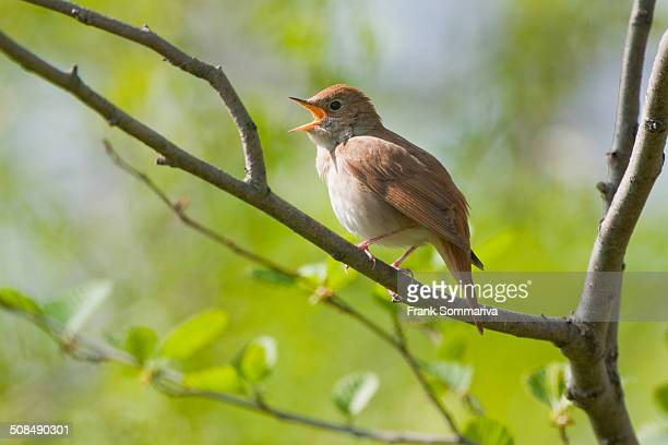 Nightingale -Luscinia megarhynchos-, singing, Thuringia, Germany