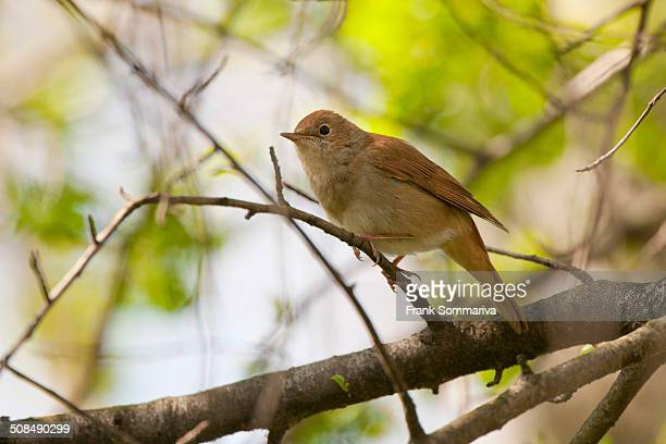 Nightingale -Luscinia megarhynchos-, Thuringia, Germany