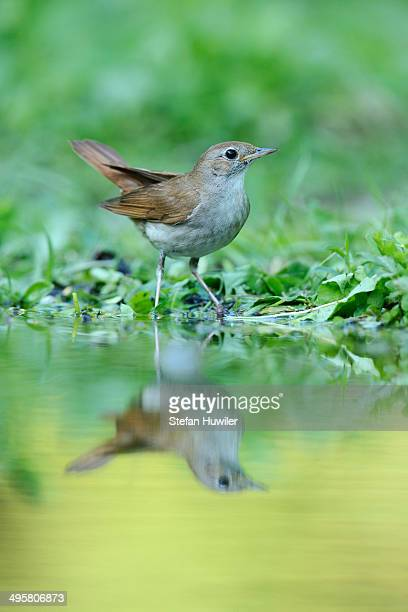 nightingale -luscinia megarhynchos- with its reflection in the water, rhodopes, bulgaria - nightingale bird stock pictures, royalty-free photos & images