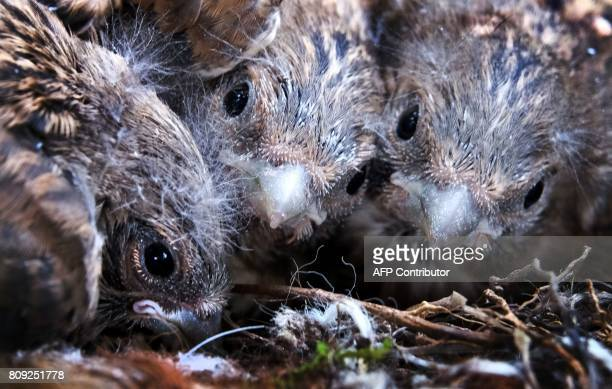 Nightingale nestlings are seen in a nest in a garden outside Moscow on July 5 2017 / AFP PHOTO / Yuri KADOBNOV