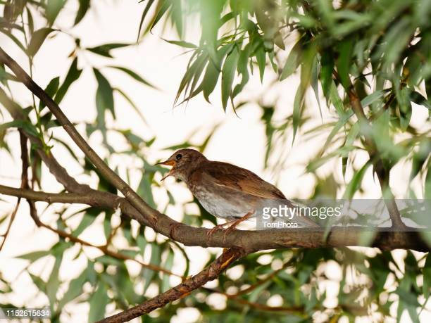 nightingale on twig - nightingale stock pictures, royalty-free photos & images