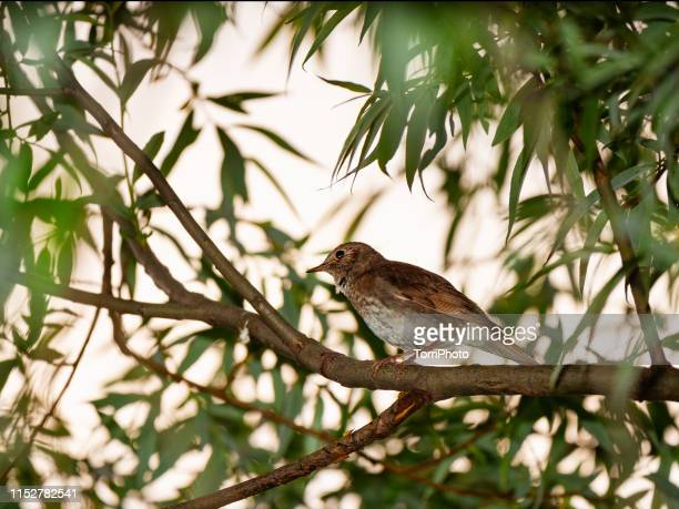 nightingale on twig - nightingale bird stock pictures, royalty-free photos & images