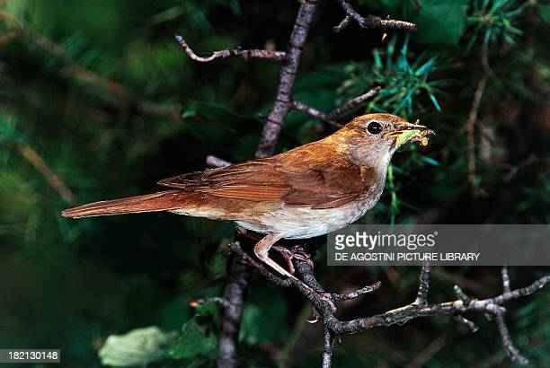 Nightingale Turdidae
