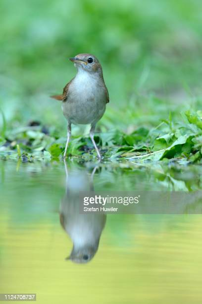 nightingale (luscinia megarhynchos) with its reflection in the water, rhodopes, bulgaria - nightingale bird stock pictures, royalty-free photos & images