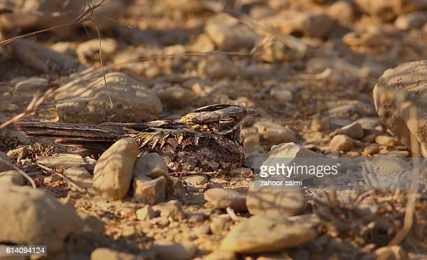 nightjar - nightjar stock photos and pictures