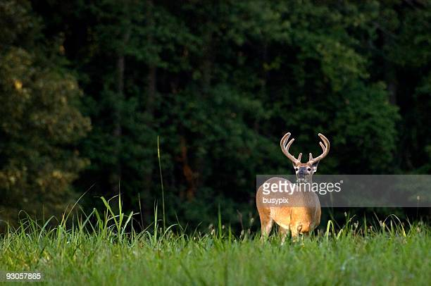Nighttime photo of whitetail deer in tall grass