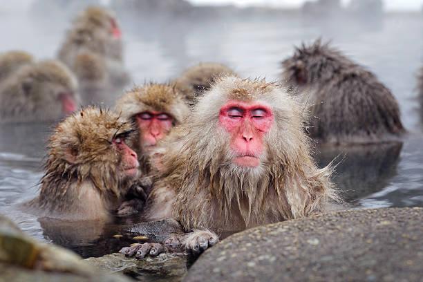 Nihon zaru (Japanese snow monkey)