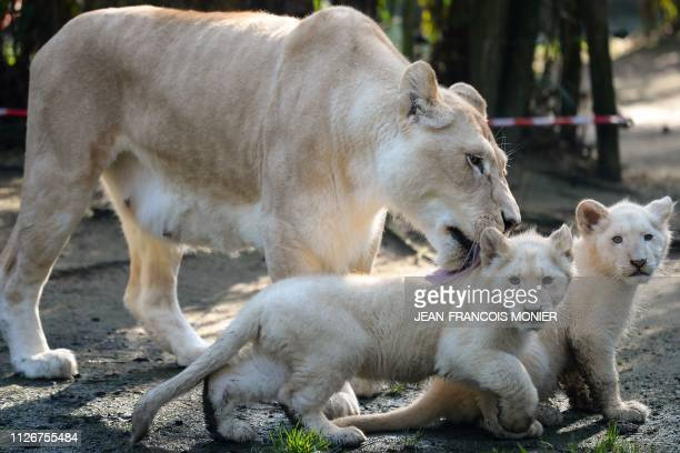 Nikita a 12yearold white Lion is pictured next to her 2 white lion cubs fourmonths old at the zoo in La Fleche northwestern France on February 22 2019
