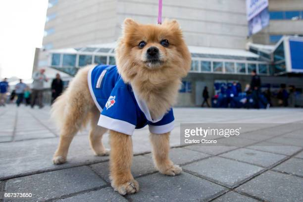 TORONTO ON APRIL 11 Nikki a Pomeranian before the Blue Jays home opener at the Rogers Centre on April 11 2017