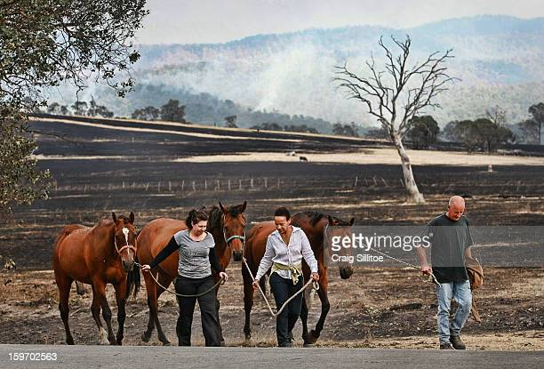 Nikki Hellyer Michelle Ripper and Trevor Ripper walk with their horses that went missing during the fire on January 19 2013 in Melbourne Australia...