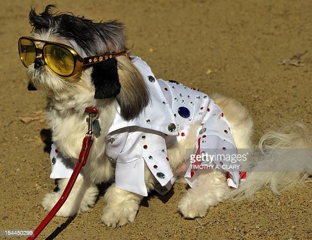 Nikko dressed as 'Elvis' attends during the 22nd Annual Tompkins Square Halloween Dog Parade in New York on October 20 2012 The parade of...