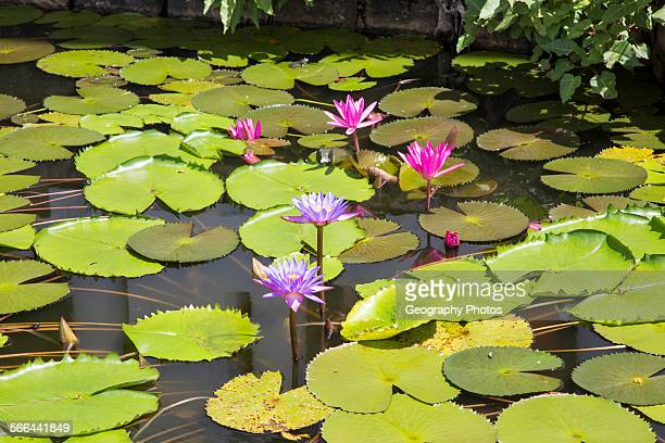 Nil Manel blue water lily Nymphaea stellata or Nymphaea nouchali at Dambulla Sri Lanka Asia