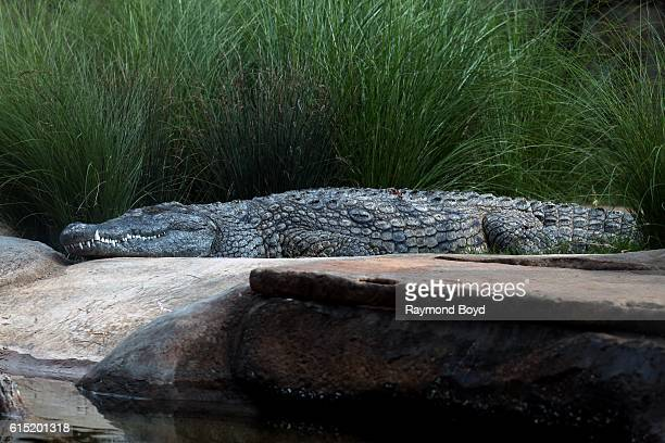Nile crocodile at the Memphis Zoo in Memphis Tennessee on October 2 2016