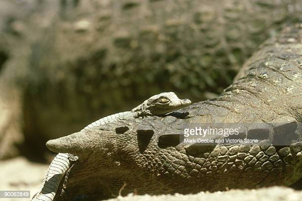 nile crocodile: crocodylus niloticus  6-8 week old baby on m others foot - category:cs1_maint:_others stock pictures, royalty-free photos & images