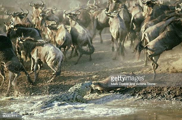 Nile crocodile, Crocodylus niloticus, attacking wildebeest