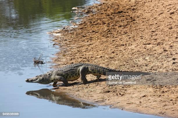 nile crocodile (crocodylus niloticus) entering grumeti river, serengeti national park, tanzania - tanzania fotografías e imágenes de stock