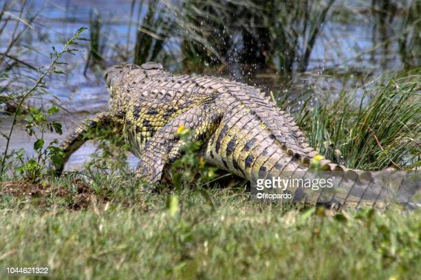 nile crocodile entering in to the water - reptile leather stock pictures, royalty-free photos & images