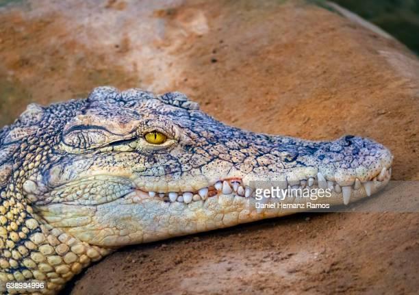 Nile crocodile head close up side view. Crocodylus niloticus