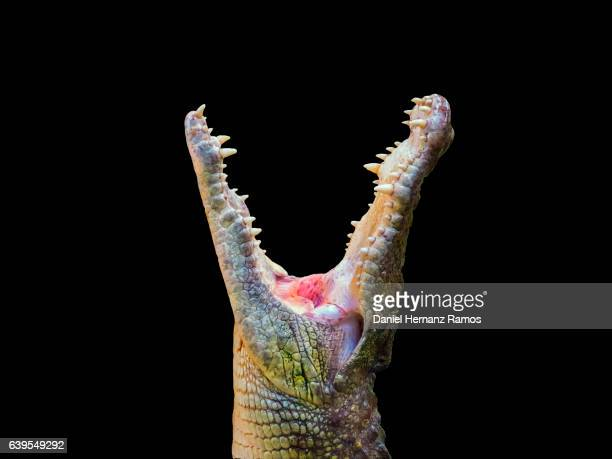 Nile crocodile head close up side view with open mouth. Crocodylus niloticus