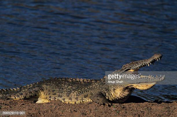 Nile crocodile (Crocodylus Niliticus) lying down on shore with open jaws, Kenya