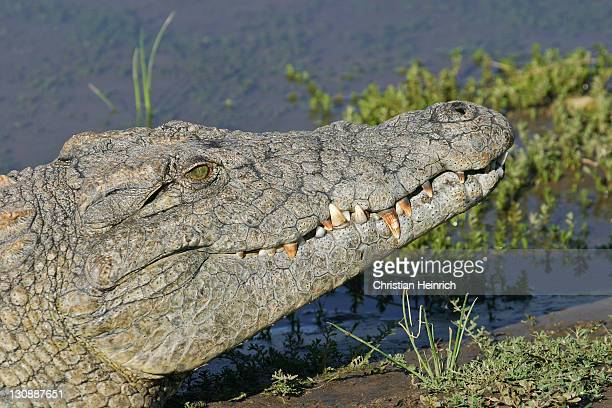 nile crocodile (crocodylus niloticus), namibia, africa - vista lateral stock pictures, royalty-free photos & images