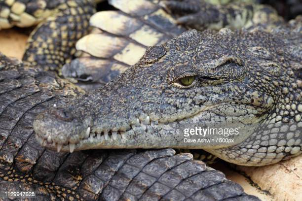 nile crocodile - dave ashwin stock pictures, royalty-free photos & images