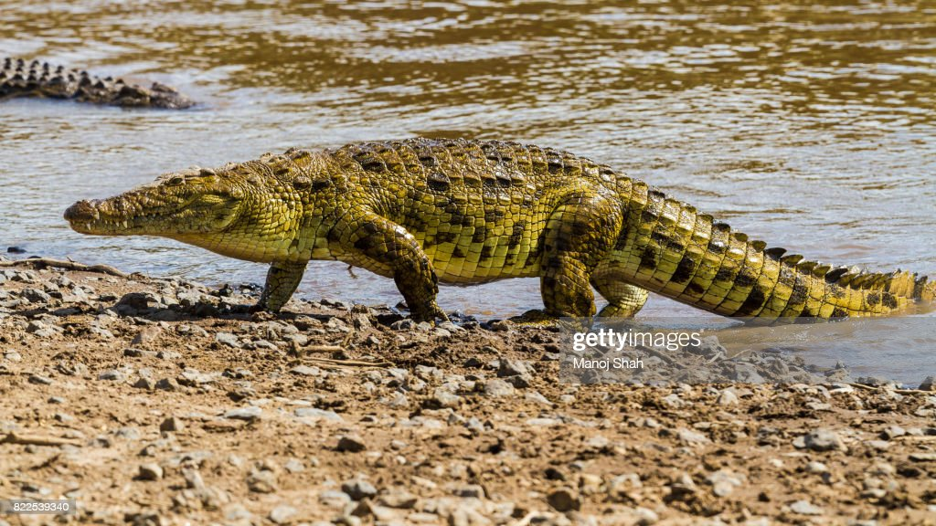 Nile crocodile : Stock Photo