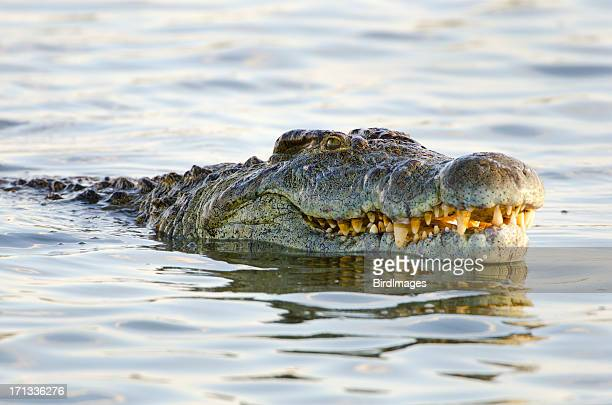 nile crocodile - south africa - crocodile stock pictures, royalty-free photos & images
