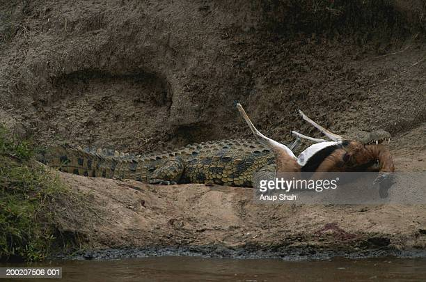 373 Dead Crocodile Photos And Premium High Res Pictures Getty Images