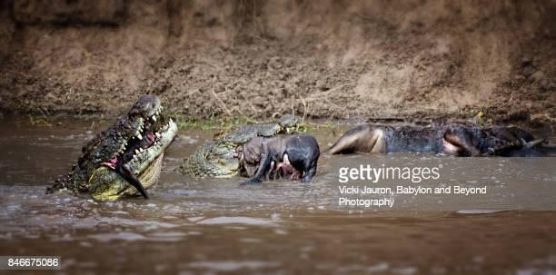 Nile Crocodiles Eating Wildebeest in Mara River