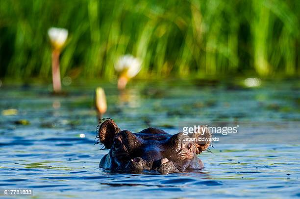 A Nile Hippopotamus surfaces in a river need a reed bed.