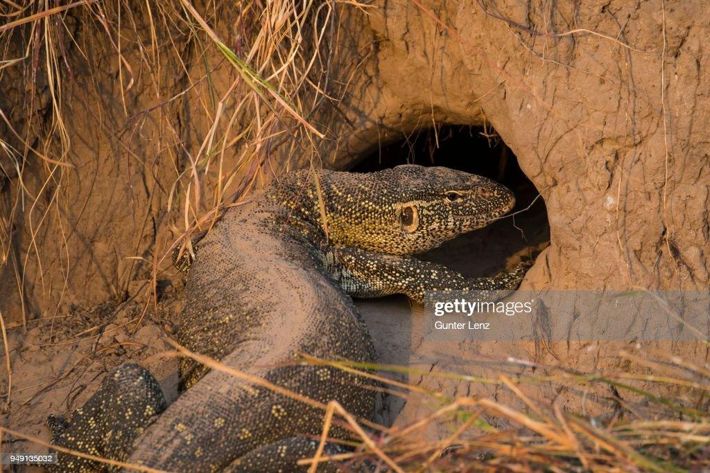 Nile monitor (Varanus niloticus) in front of hole in termite mound, Chobe National Park, Botswana : Stock Photo