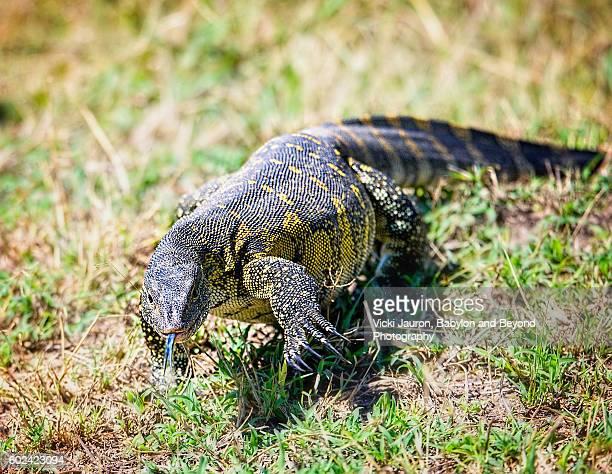 Nile Monitor Lizard in Serengeti, Tanzania, Africa