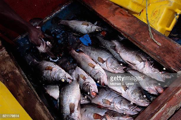 nile perch awaiting processing - ウガンダ ストックフォトと画像