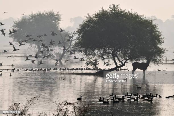 Nilgai and ducks in the landscape of wetland of Keoladev national park in Bharatpur on November 20 2018 in Rajasthan India