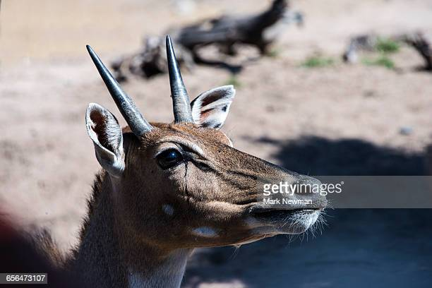 nilgai antelope - nilgai stock photos and pictures