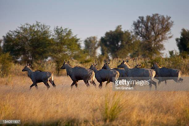 nilgai antelope, rajasthan, india - nilgai stock photos and pictures