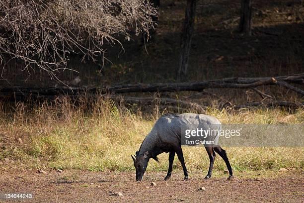 Nilgai Blue Bull antelope Boselaphus tragocamelus in Ranthambhore National Park Rajasthan India