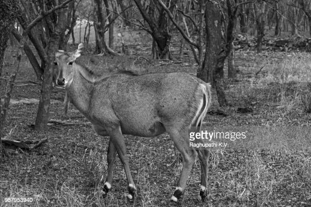 nilgai -  blue bull-(largest antelope ) - nilgai stock photos and pictures