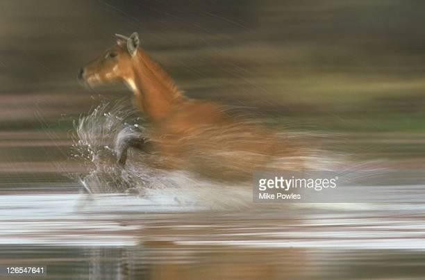 nilgai, boselaphus tragocamelus, female running , bharatpur, india - nilgai stock photos and pictures
