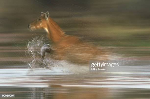 nilgai, boselaphus tragocamelus, female running , bharatpur, india - nilgai stock photos and pictures