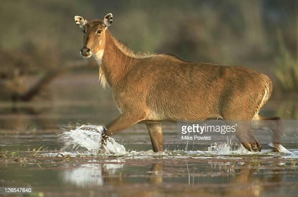 nilgai, boselaphus tragocamelus, female wading, bharatpur, india - nilgai stock photos and pictures