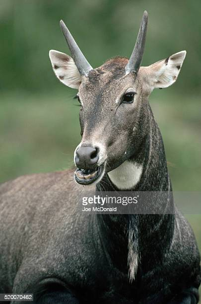 nilgai buck chewing - nilgai stock photos and pictures