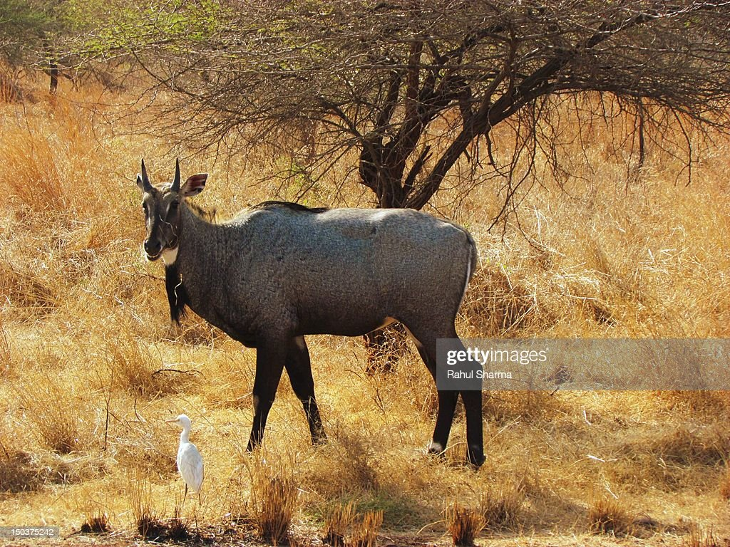 Nilgai & Egret at Gir wildlife reserve, Gujrat : Stock Photo