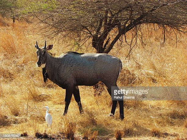 nilgai & egret at gir wildlife reserve, gujrat - nilgai stock photos and pictures