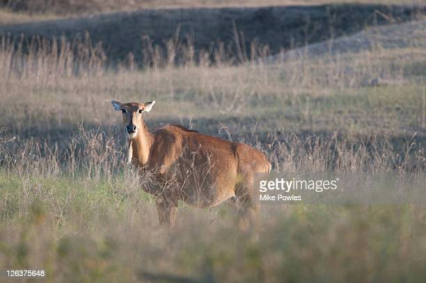 nilgai (boselaphus tragocamelus) female in grassland, pench national park, india - nilgai stock photos and pictures
