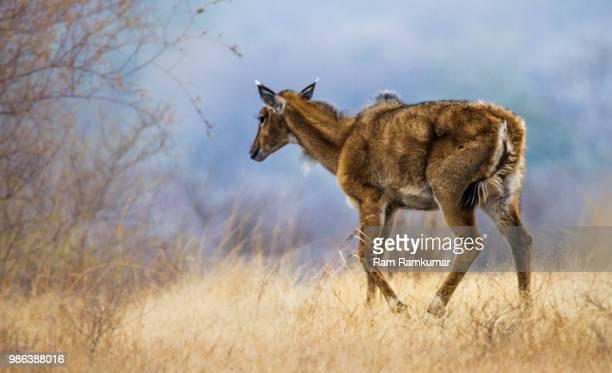 nilgai (blue cow antelope) - female - nilgai fotografías e imágenes de stock