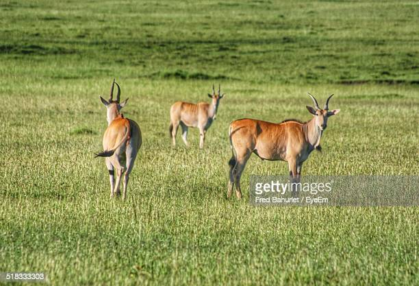 nilgai in a forest - nilgai stock photos and pictures