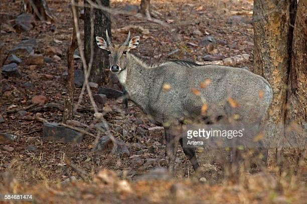 Nilgai in forest in Ranthambore National Park Sawai Madhopur Rajasthan India