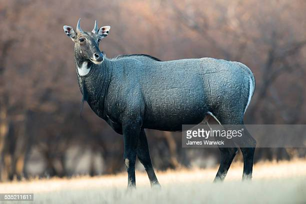 nilgai in meadow - nilgai stock photos and pictures